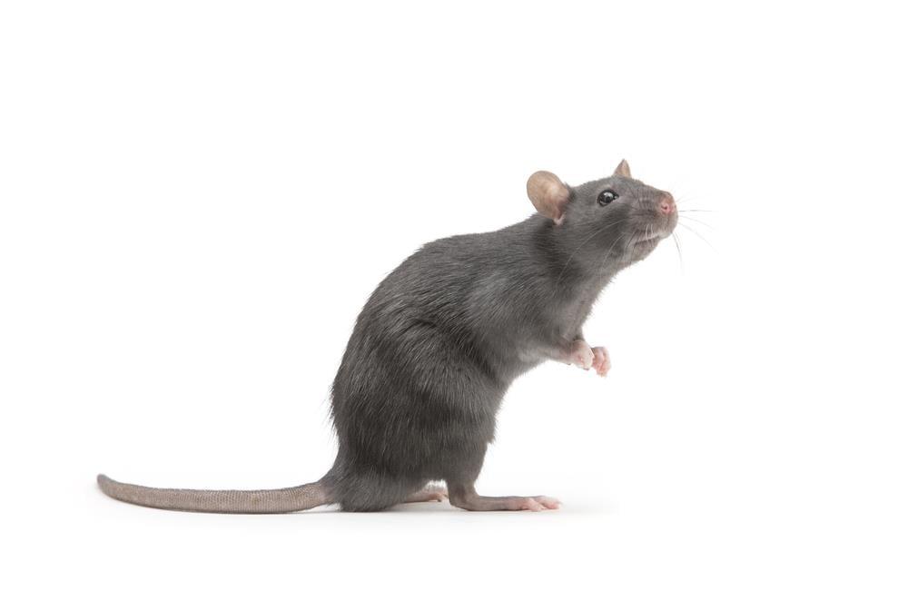 Saiba quais são as doenças transmitidas por ratos